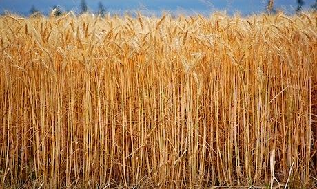 Illegal GMO Wheat Growing in Oregon, Threatens U.S. Wheat Exports