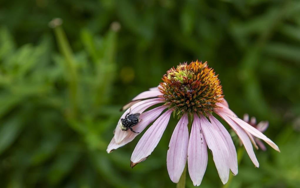 echinacea herb pharm